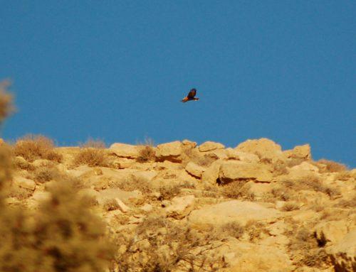 Steppe Buzzard and Common Kestrel on Al Tobag hill