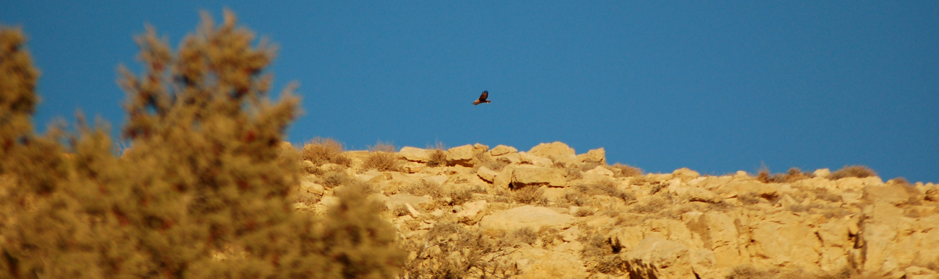 Steppe Buzzard over Al Tobag Hill, close to B&B Petra Fig Tree Villa