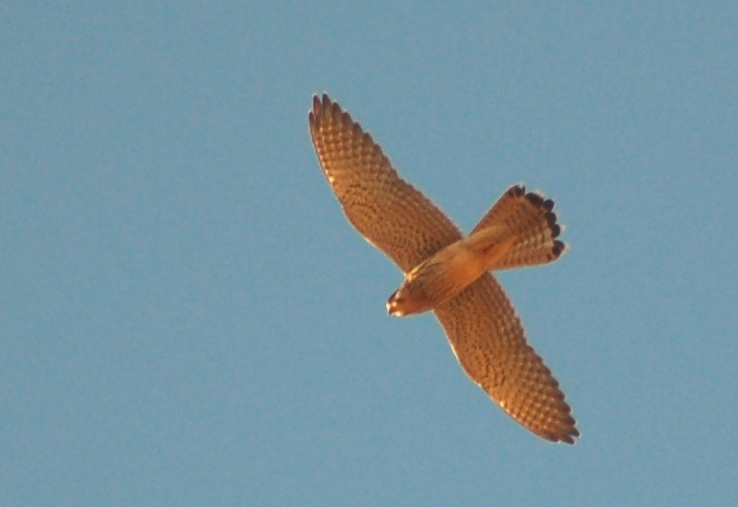 Common Kestrel at Al Tobag hill