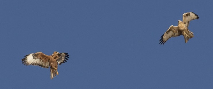 Steppe buzzard by Marcel Klootwijk