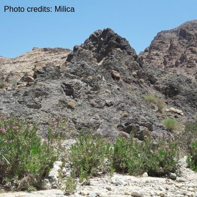 Hiking in Wadi Ghuweir with oleanders alongside