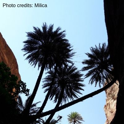 Palm trees and a blue sky in Wadi Ghuweir photo credits Milica