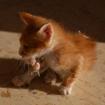 Pumpkin as tiny kitten washing his little paw